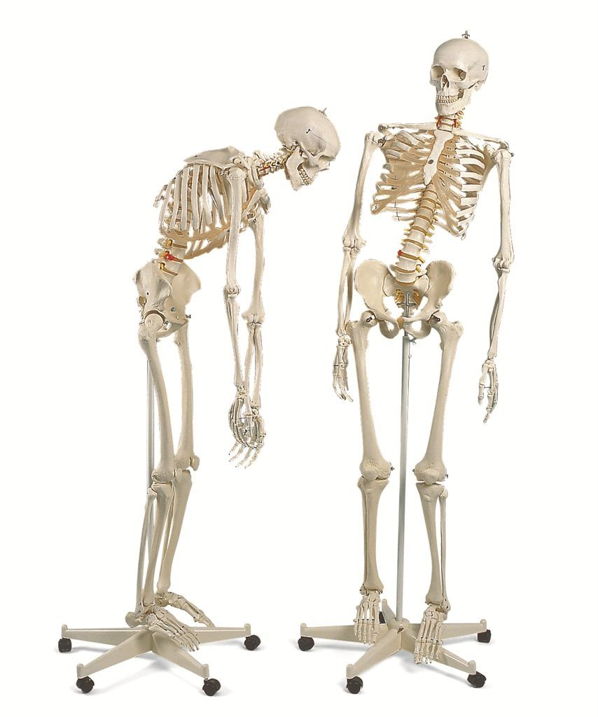 3b scientific a15 skeleton model, Skeleton